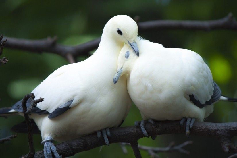 Love Birds Wallpaper HD Dove