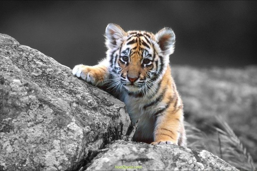 Black and white tiger wallpaper dowload