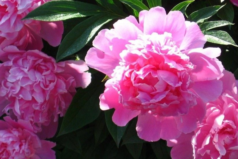 1920x1080 Wallpaper peonies, flowers, sunny, close-up