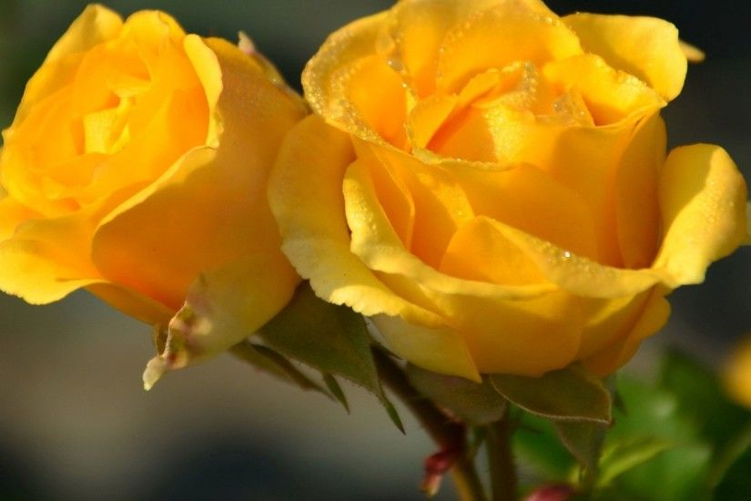 Flowers yellow roses rose desktop background images.