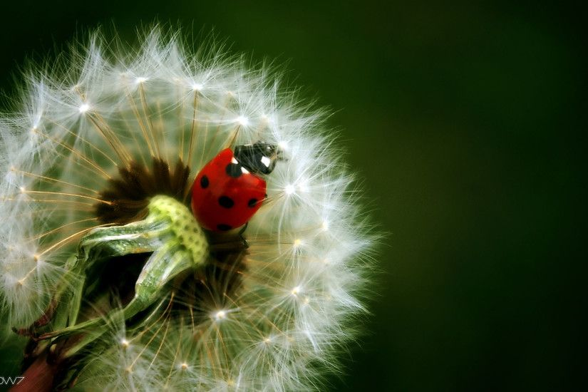 ladybug on dandelion wallpaper