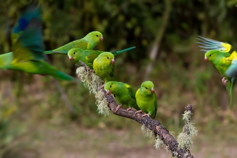 lovebirds, twig, Parrots