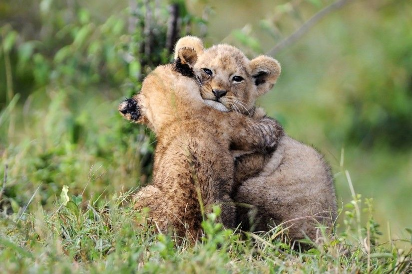 ... lion cubs HD Wallpaper 2560x1600