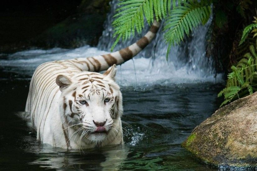 White Tiger Wallpaper, HD, 1920x1080 Wallpaper, 1080p, Widescreen .
