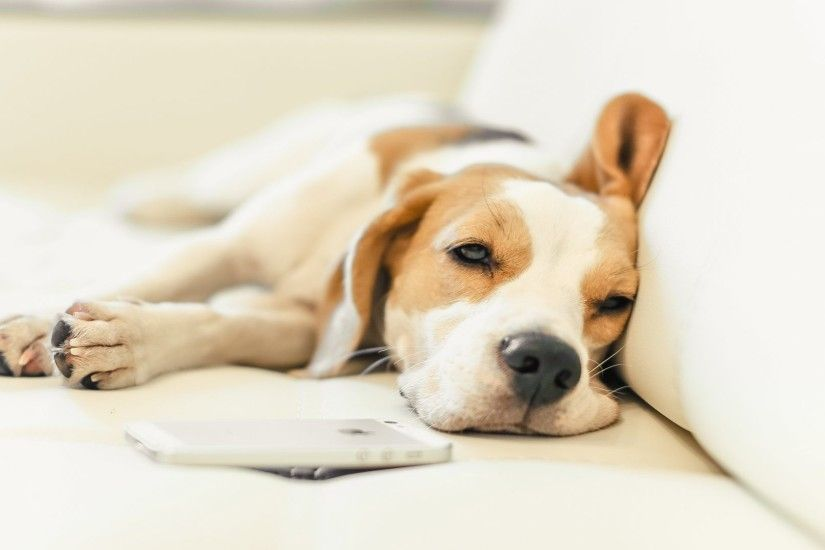 Beagle Tag - Beagle Dog Puppy Desktop Images Baby Animals for HD 16:9 High