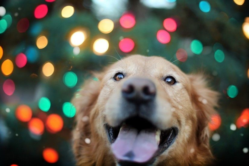 golden retriever loyal dog. Â«Â«