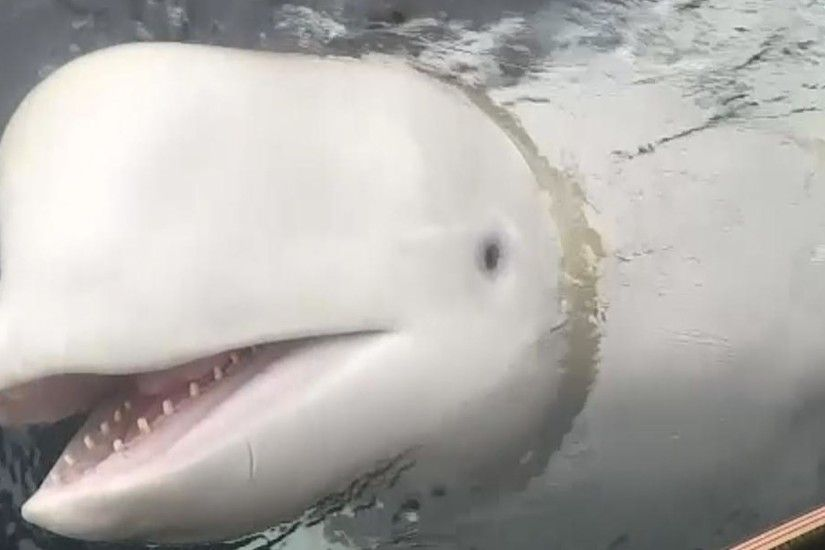 Fishermen in Norway found a beluga whale wearing a harness | World News |  Sky News