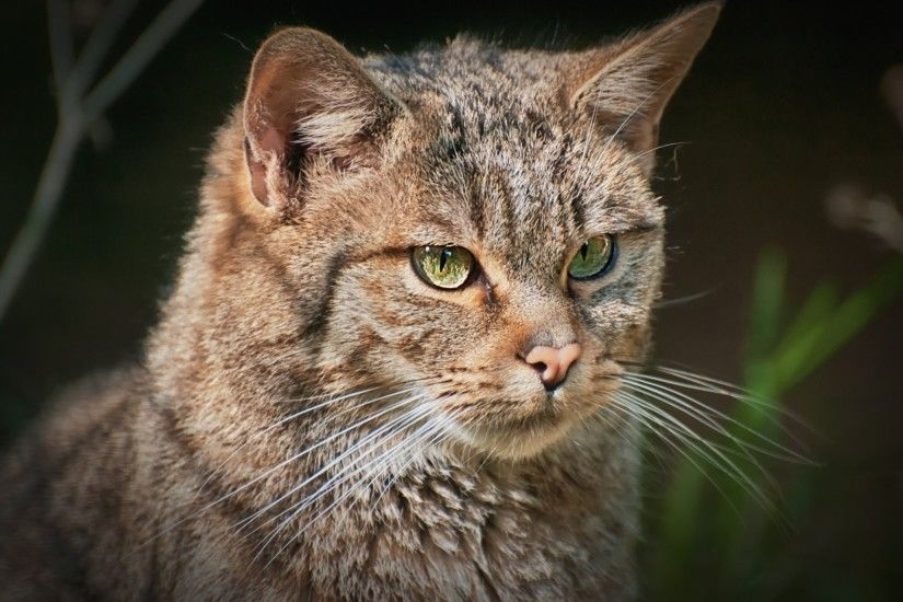 european wildcat portrait view background