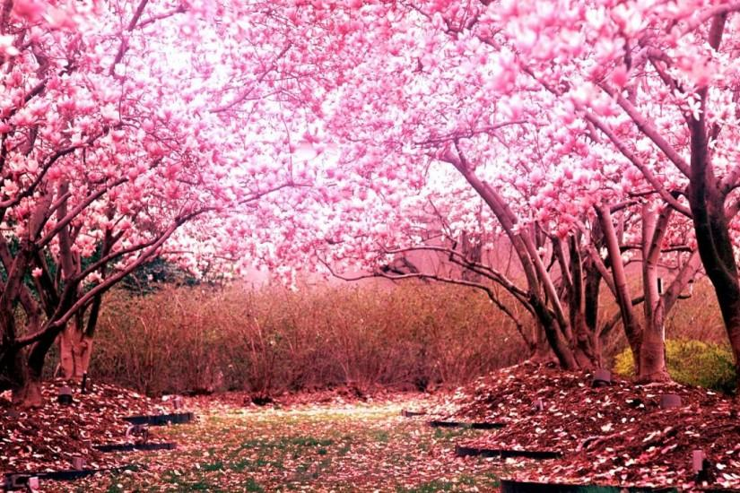 most popular cherry blossom wallpaper 1920x1080 for android 40