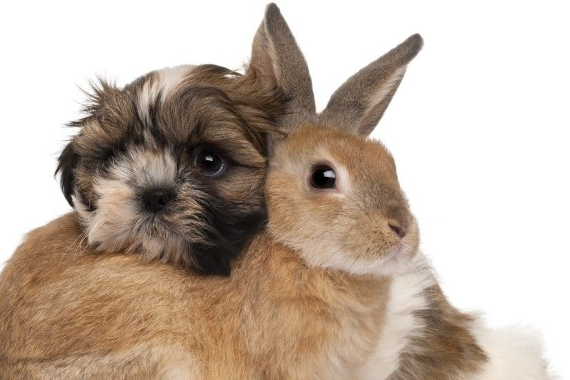 Shih Tzu And Rabbits