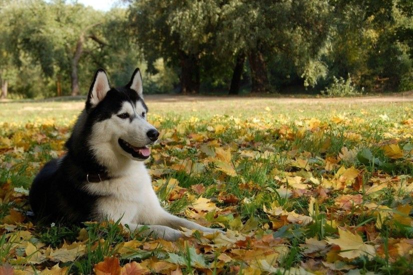 Siberian Husky wallpaper - Animal wallpapers - #22471