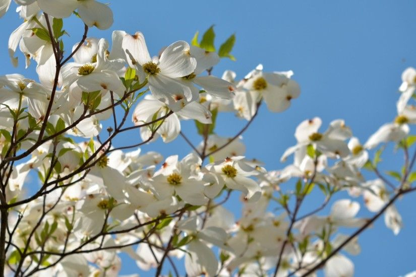 Spring Scene Dogwood Tree Scenic White Flowers Flower Wallpaper Download