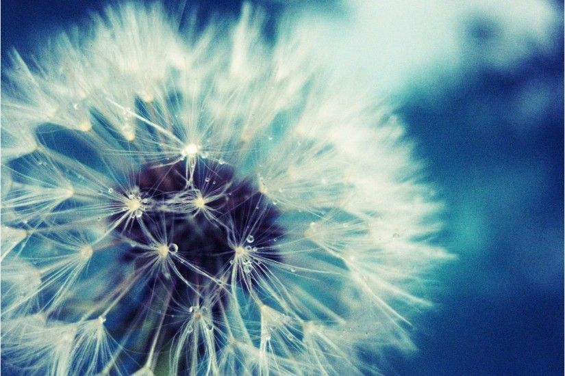 Dandelion Wallpaper Best Of Dandelion Flower Wallpaper