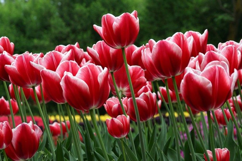 Tulip Tag - Tree Garden Trees Colorful Tulip Colors Flowers Stripped  Beautiful Nature Nice Field Lovely