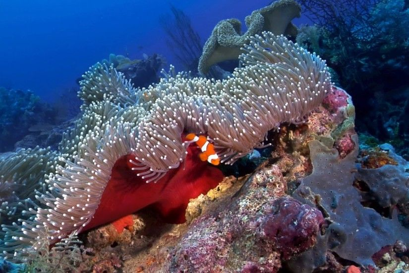 """Anemonefish: Nature's Aquarium"" DVD ~ ocean scenes & relaxation music for  your TV, with clownfish - YouTube"