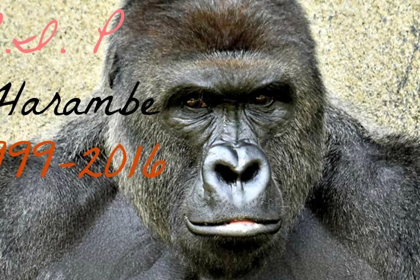 beautiful harambe wallpaper 1920x1080 htc