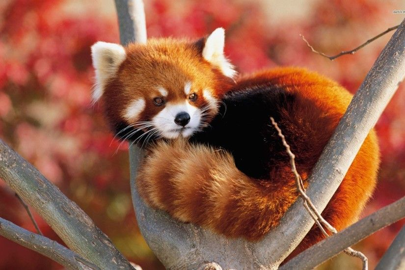 Red Panda wallpapers high quality resolution