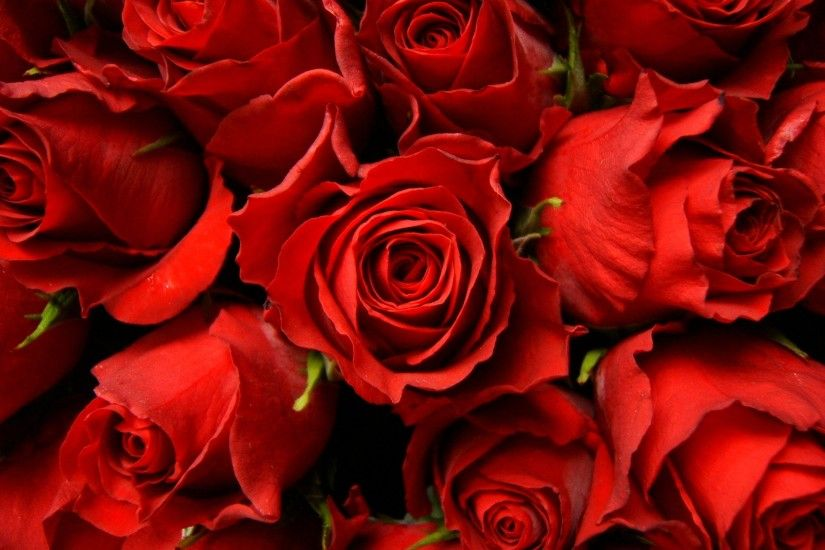 Red Roses Picture - Wallpaper, High Definition, High Quality