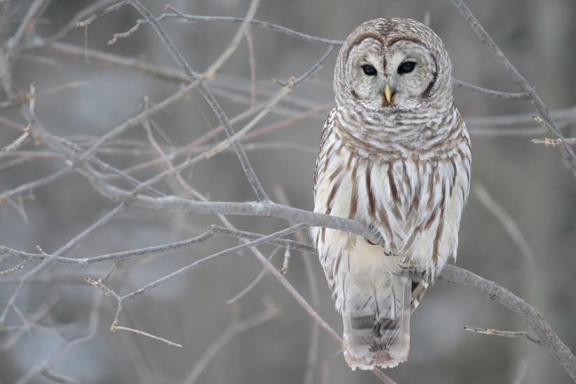 Pictures photos white owl wallpapers HD.