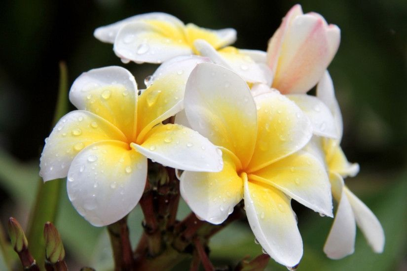 Plumeria HD Wallpaper 1920x1080 Plumeria HD Wallpaper 1920x1200