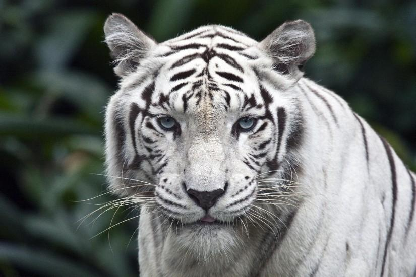 White Tiger Background Wallpapers Pictures Photos Images. Â«