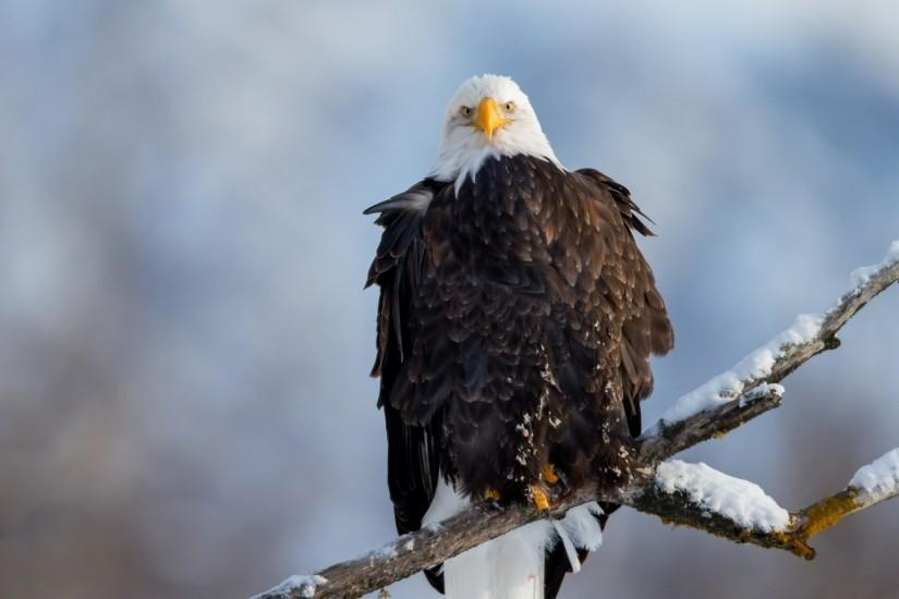 Preview wallpaper eagle, vulture, branch, snow, bird 1920x1080