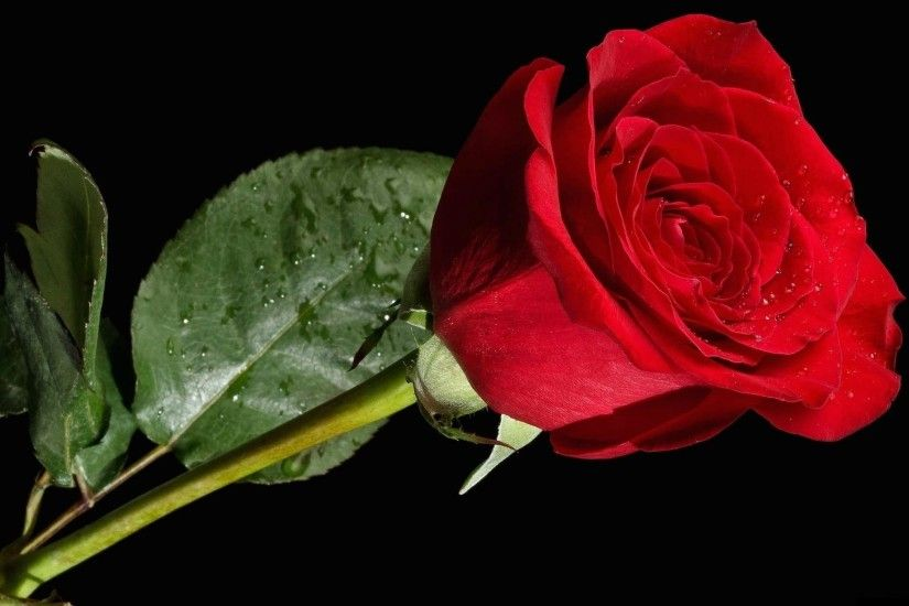 original rose flower red black background background - | Images .