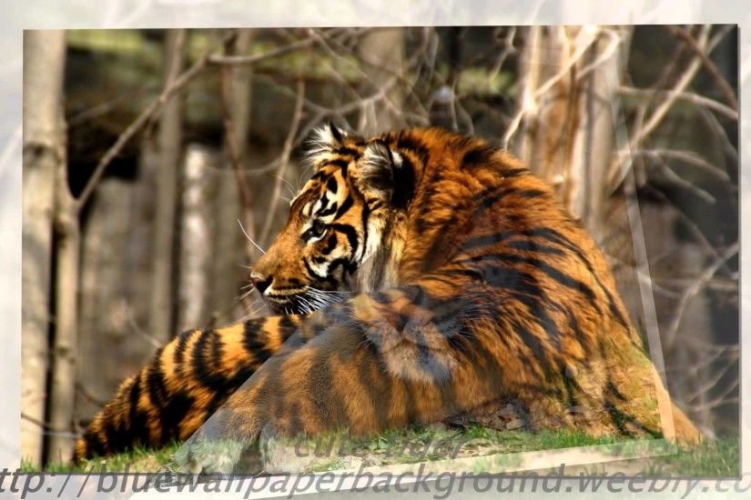 Tiger Wallpaper White Animal Pictures Forest Wild Baby images cool  photography bengal tiger - YouTube