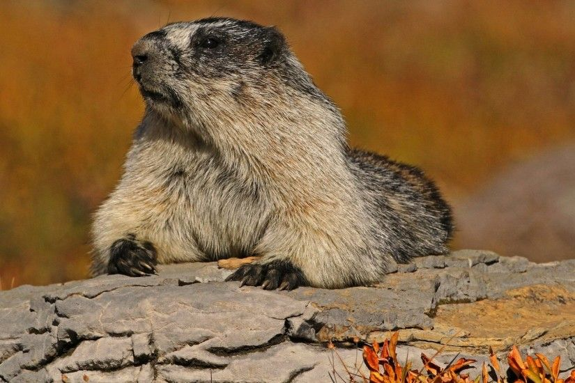 Groundhog Pose Rodent Bark Marmot Hd Animal Themes - 2048x1459