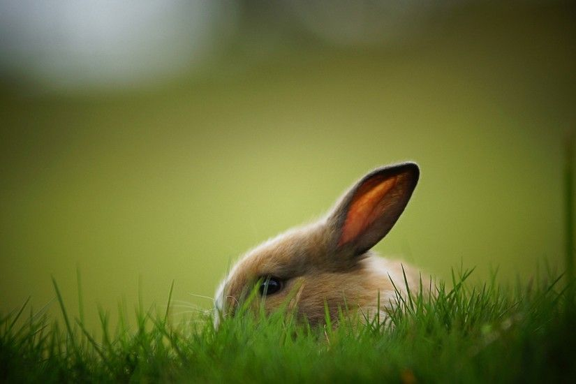 Rabbit HD Wallpapers Pictures