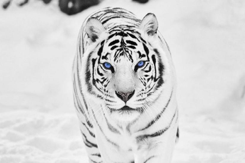 Siberian White Tiger Nexus 5 Wallpaper (1920x1080)