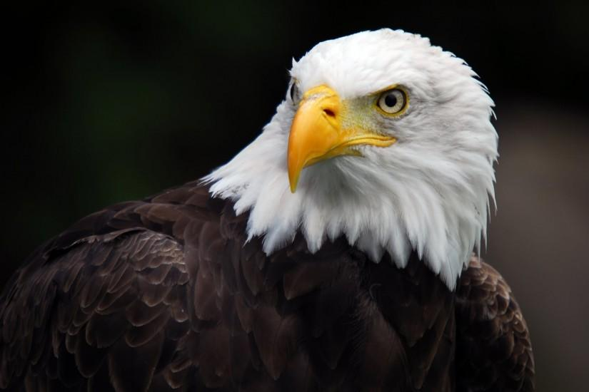 Bald Eagle Wallpaper HD Images
