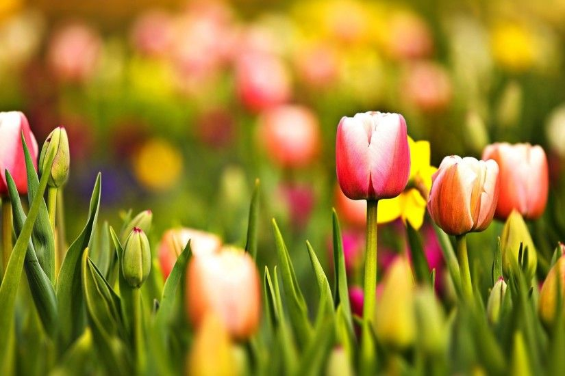 Free Desktop Wallpapers Tulips Wallpapers Wide Tulips HDQ