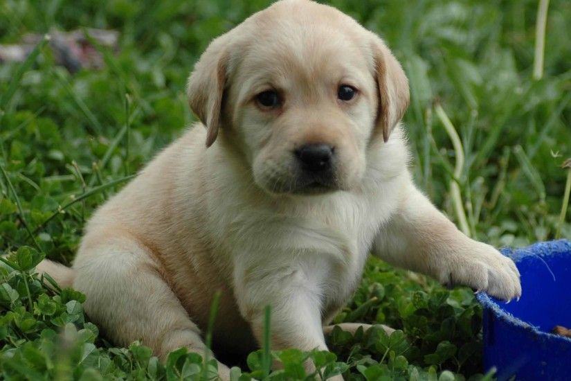 Wallpapers Backgrounds - Lab puppy dog Desktop Wallpapers Backgrounds  Screensavers