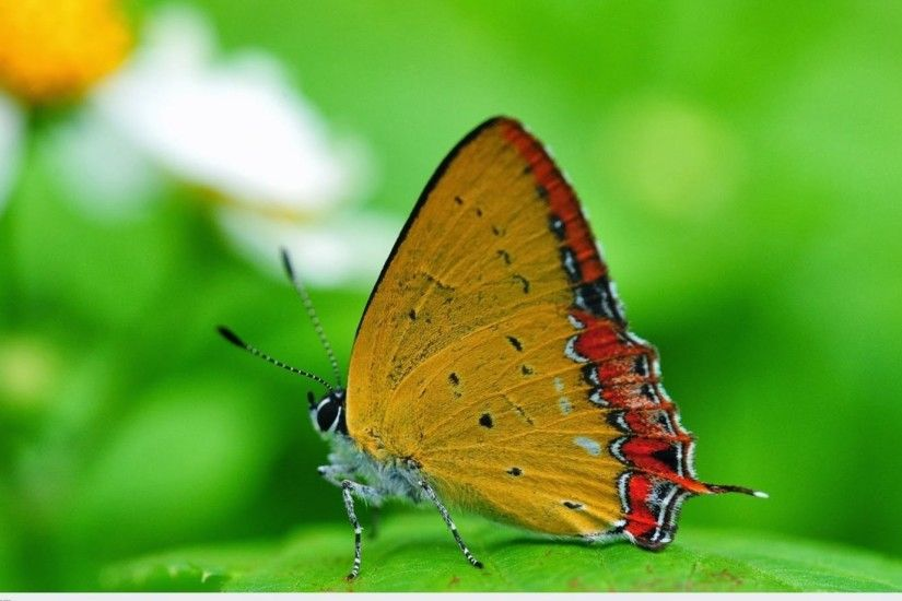 ... Attachment for full hd nature wallpapers 1080p desktop - butterfly macro