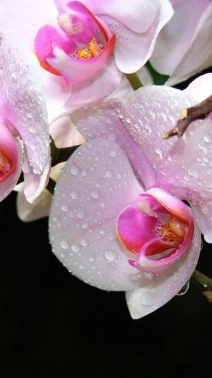 Preview wallpaper orchid, drops, flowers 1440x2560