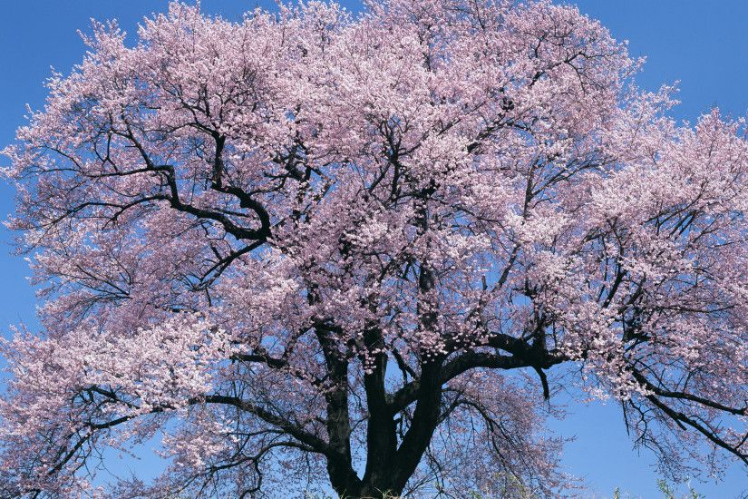 Japan Big Cherry Blossom Tree Desktop Background. Download 2560x1600 ...