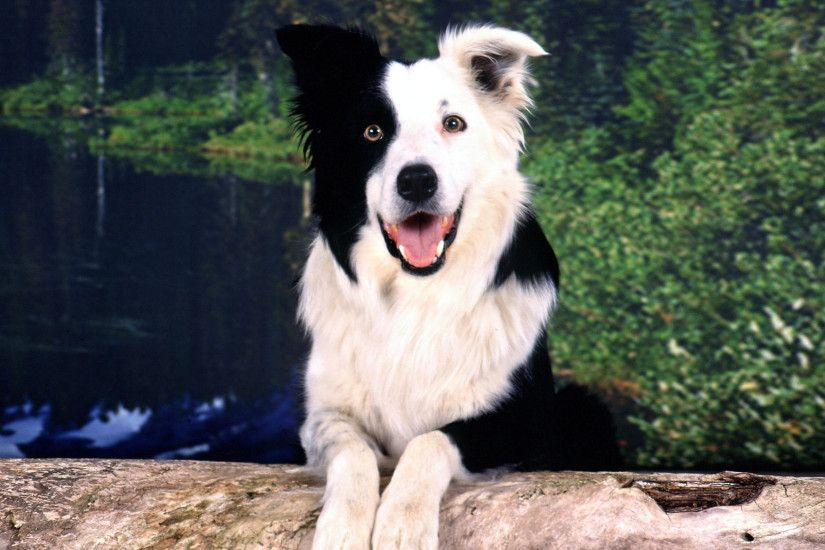 Free Wallpaper Border Collie
