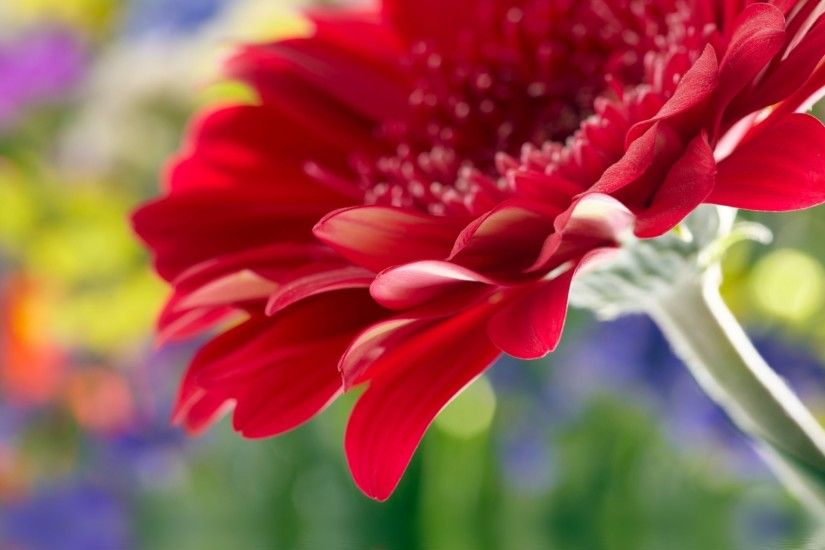 beautiful red daisy gerbera close up rose flower beautiful red gerbera daisy  close up rose flower