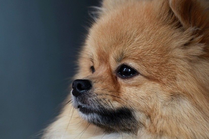 56 Funny Pomeranian Puppies Wallpapers Free