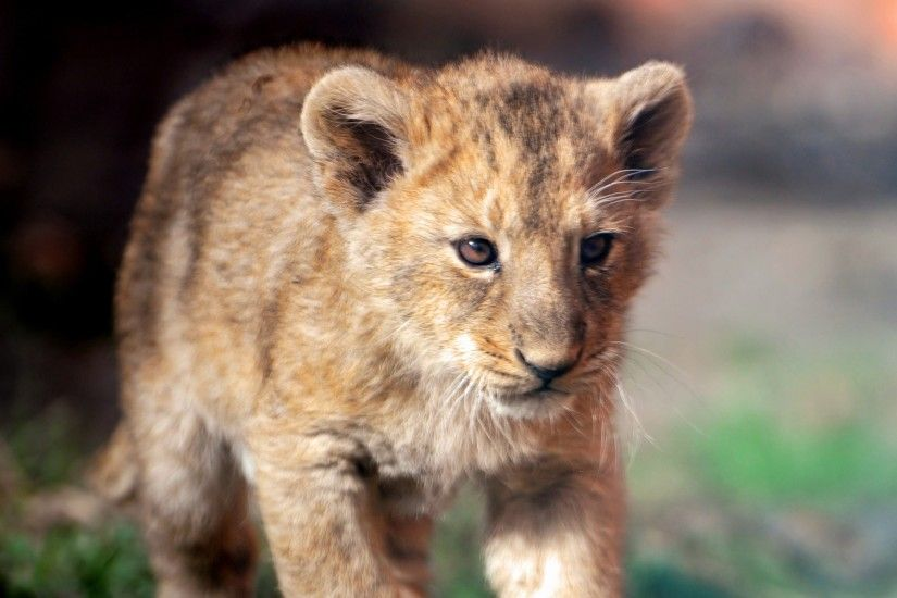 One of the Asiatic lion cubs