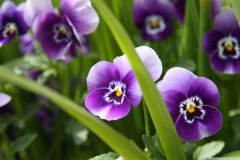 Full HD 1080p Purple Pansy Flower