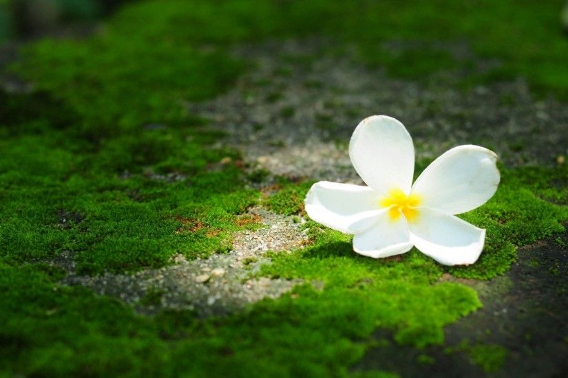 flower flower flower frangipani plumeria green background flower wallpaper  widescreen full screen widescreen hd wallpapers background