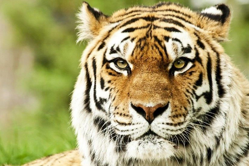 Full HD 1080p Tiger Wallpapers HD, Desktop Backgrounds 1920x1080