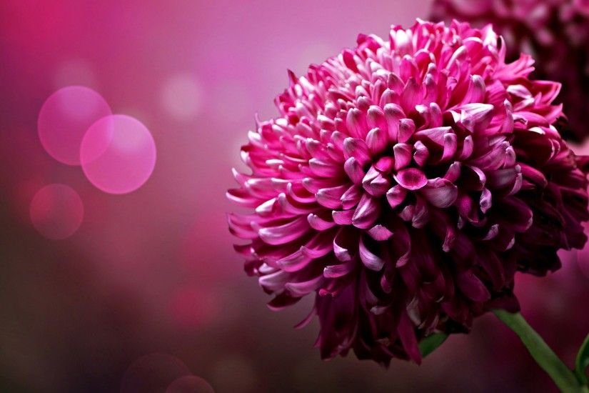 Ultra HD Wallpaper, flower 4K | pink flowers photography wallpaper .