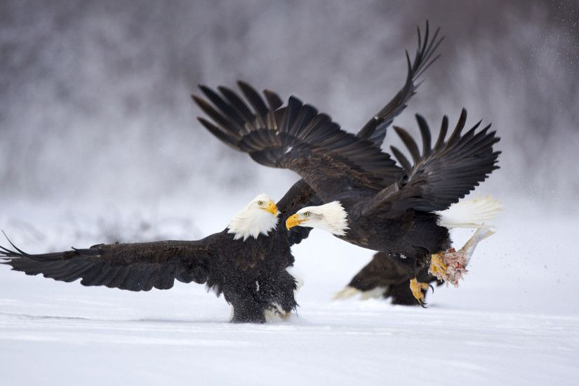 Eagle HD Wallpaper Backgrounds