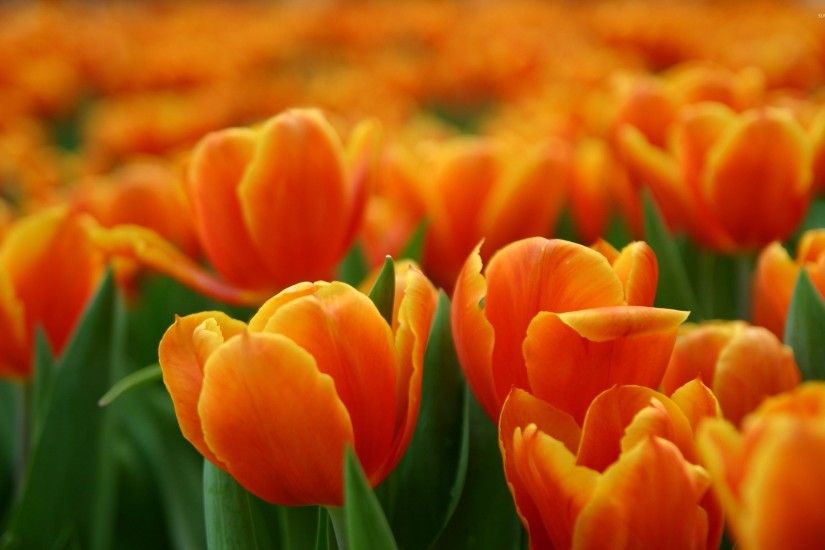 Red And Orange Tulips HD desktop wallpaper : High Definition .