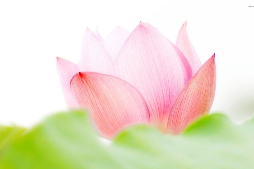 Pink Lotus Flower Wallpaper High Definition with High Definition Wallpaper