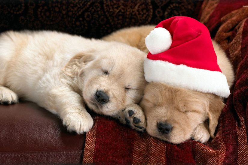 Adorable puppies sleeping on the couch on Christmas Eve wallpaper