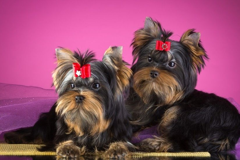 Animals / Yorkshire Terrier Wallpaper